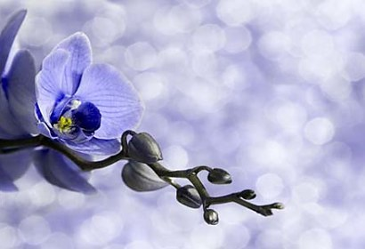 Fototapety Blue Orchid Flowers 6375
