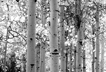 Fototapeta Aspen tree Osika ft-1593951